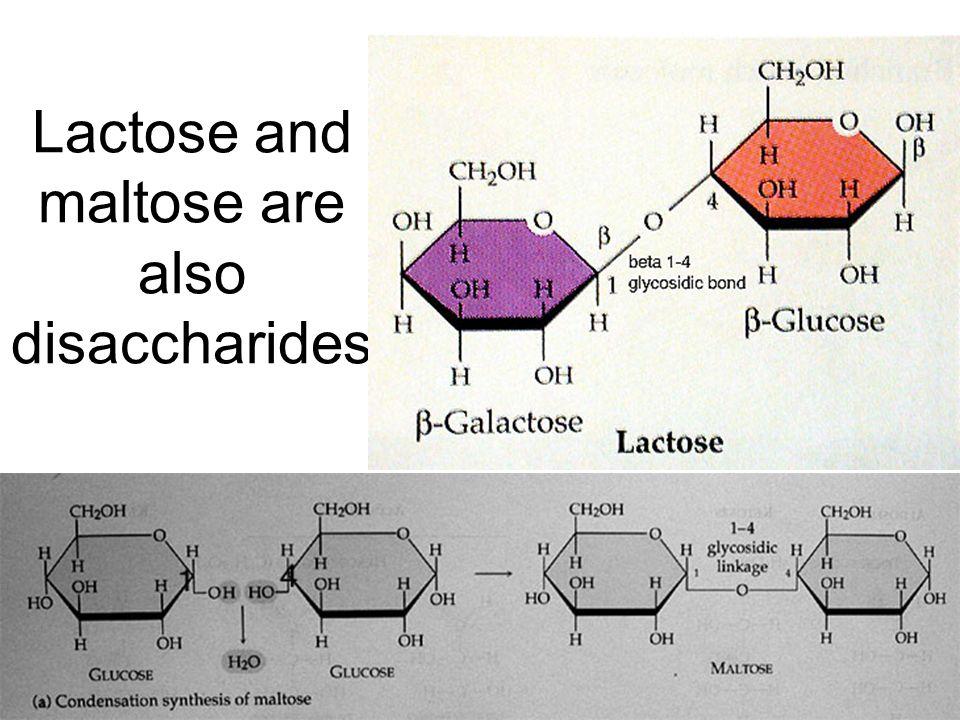 Lactose and maltose are also disaccharides