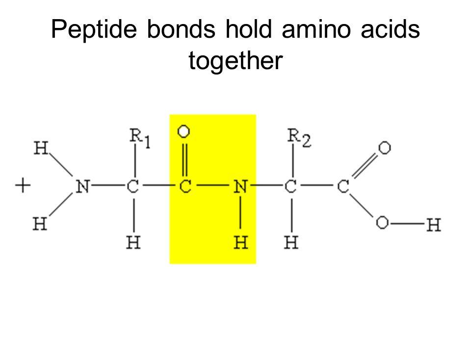 Peptide bonds hold amino acids together