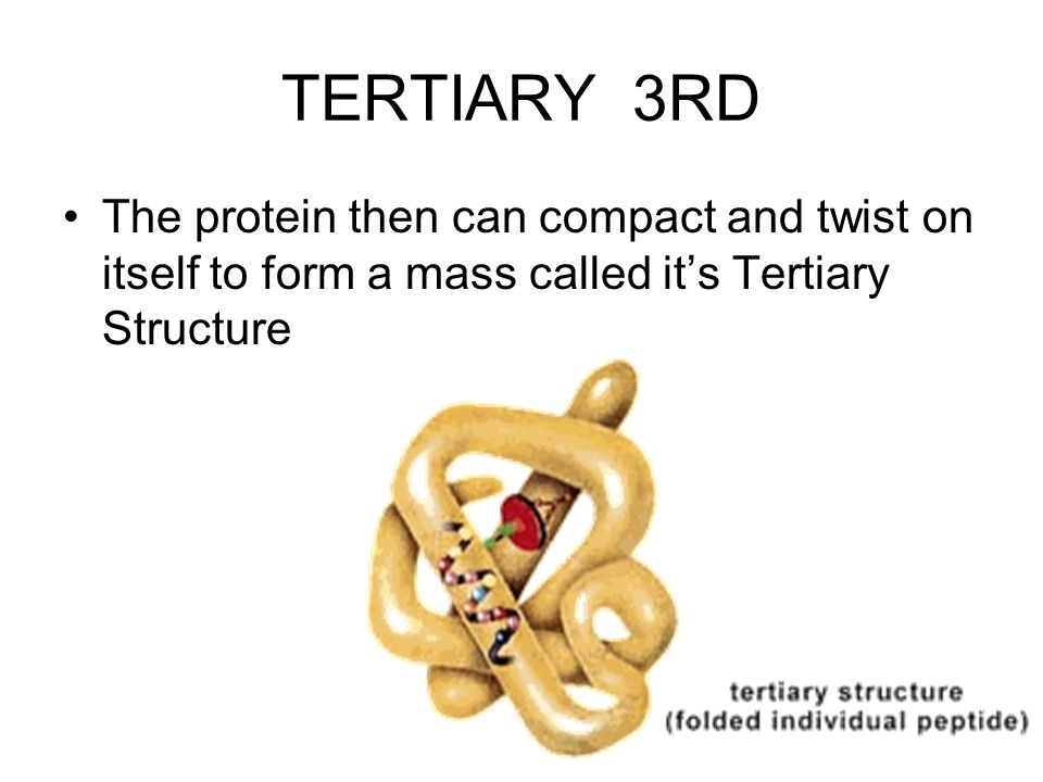 TERTIARY 3RD The protein then can compact and twist on itself to form a mass called it's Tertiary Structure.