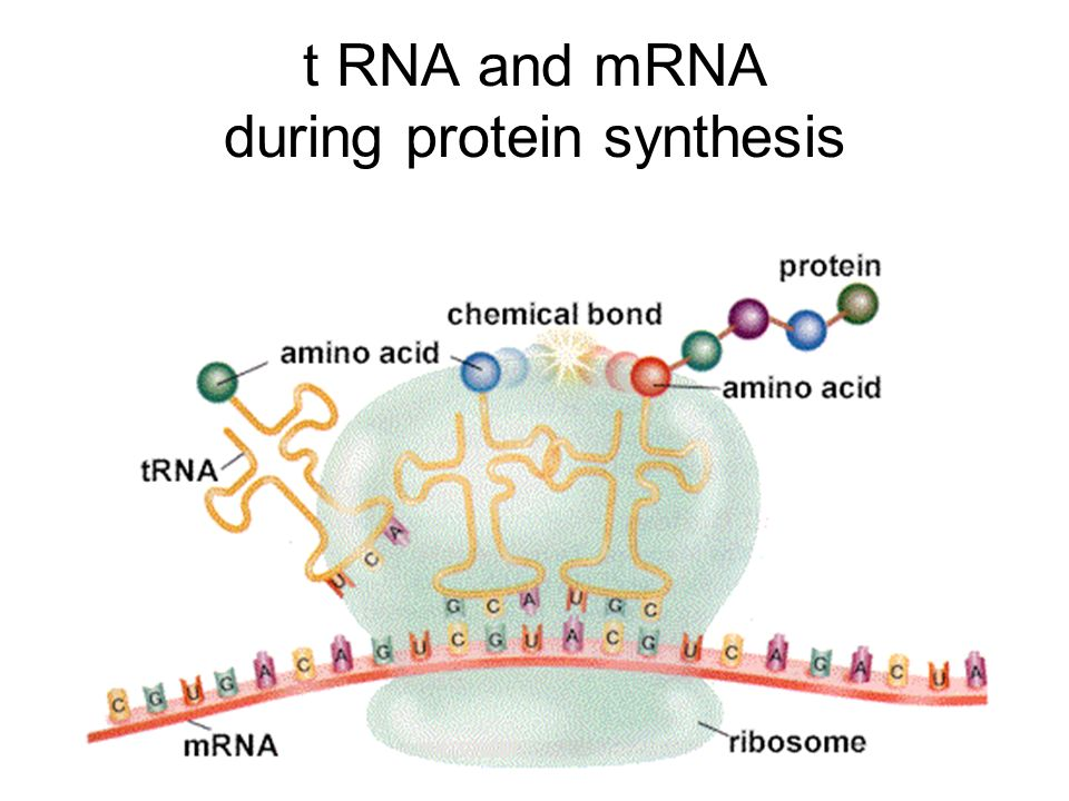 t RNA and mRNA during protein synthesis