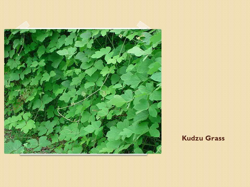 Kudzu Grass