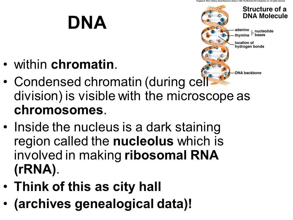 DNA within chromatin. Condensed chromatin (during cell division) is visible with the microscope as chromosomes.