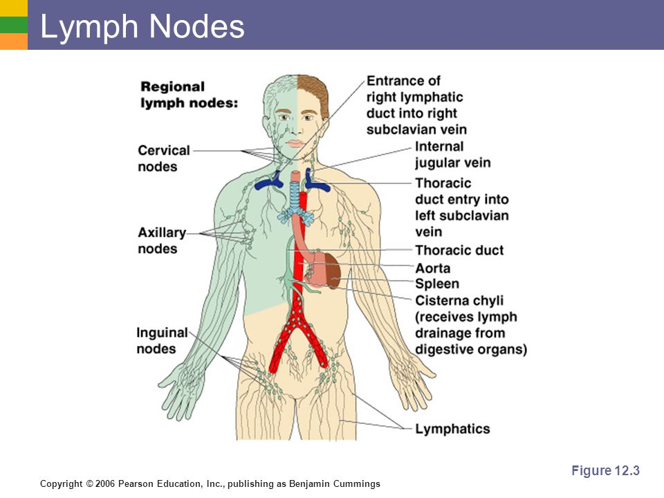 Lymph Nodes Figure 12.3