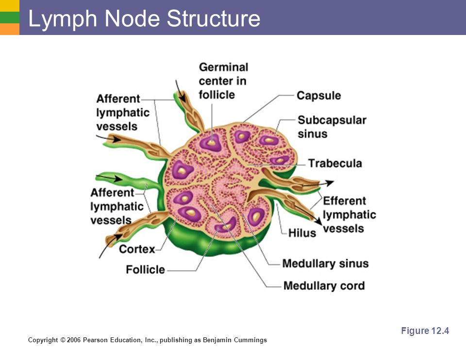 Lymph Node Structure Figure 12.4
