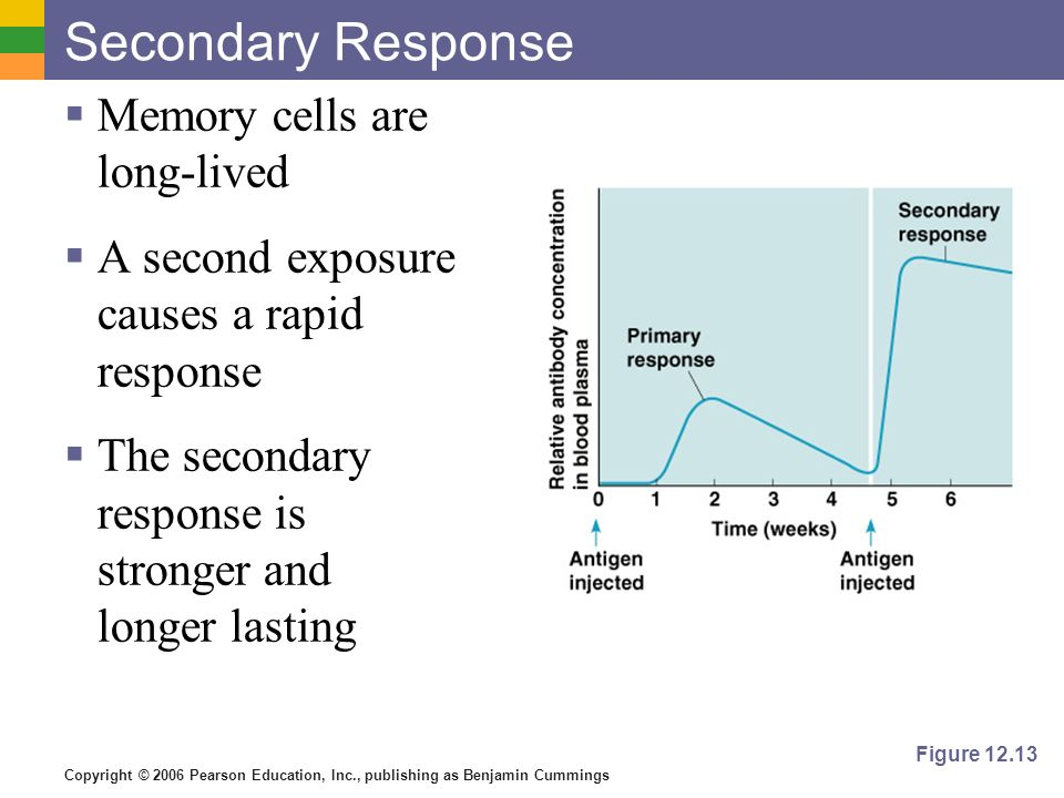 Secondary Response Memory cells are long-lived