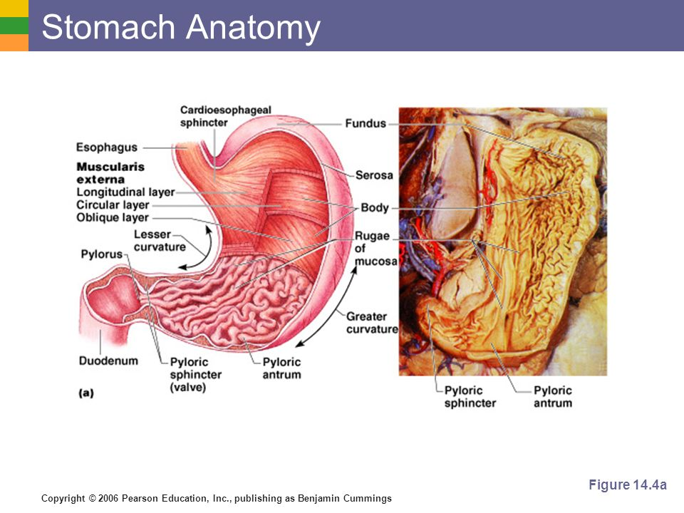Stomach Anatomy Figure 14.4a