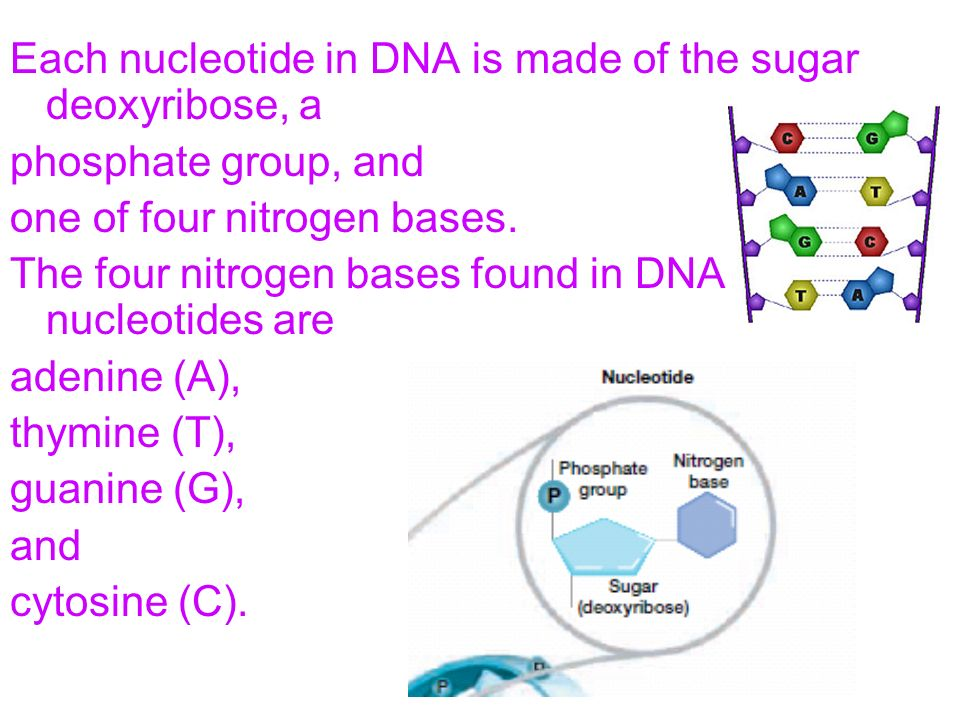 Each nucleotide in DNA is made of the sugar deoxyribose, a