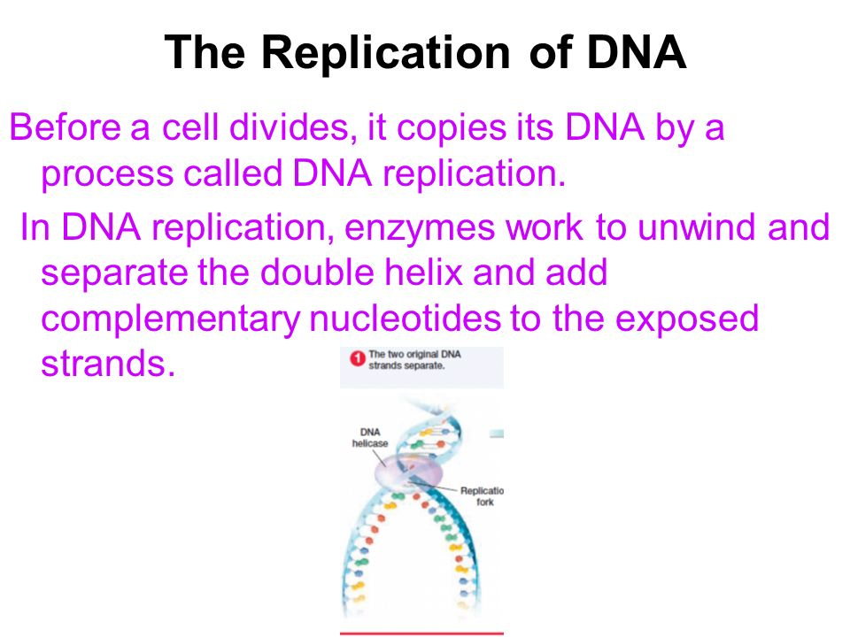 The Replication of DNA Before a cell divides, it copies its DNA by a process called DNA replication.