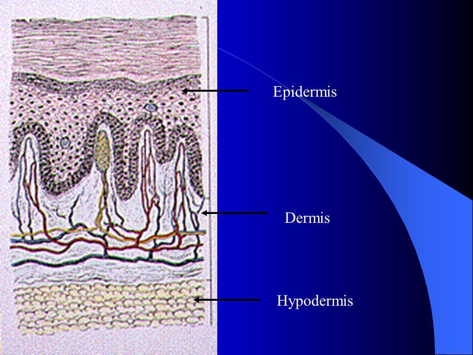 Epidermis Dermis Hypodermis