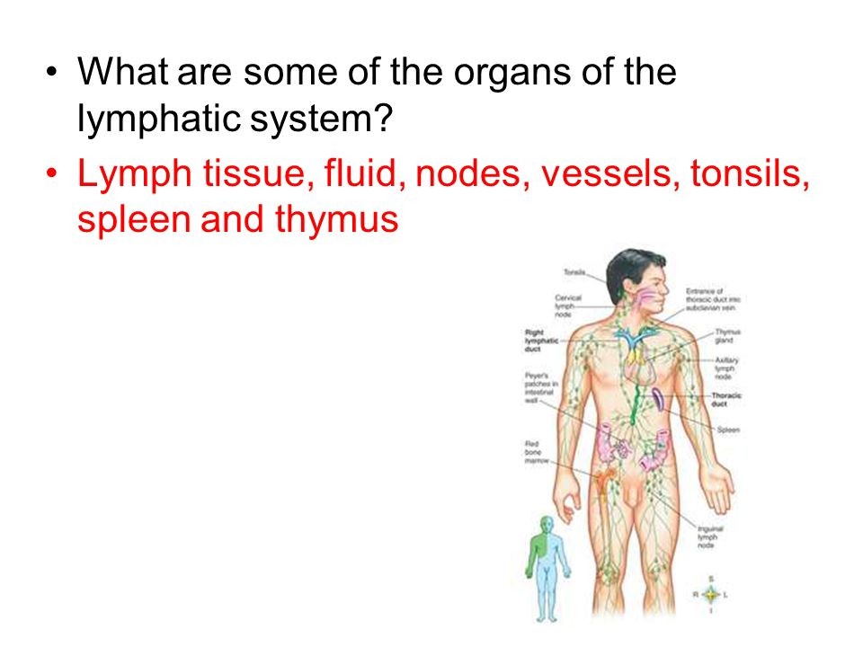 What are some of the organs of the lymphatic system