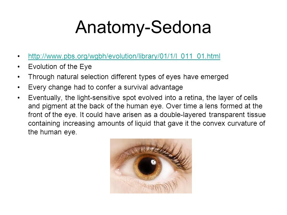 Anatomy-Sedona http://www.pbs.org/wgbh/evolution/library/01/1/l_011_01.html. Evolution of the Eye.