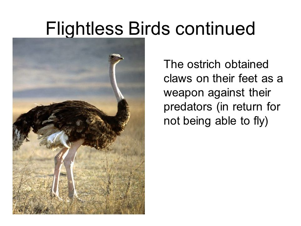 Flightless Birds continued