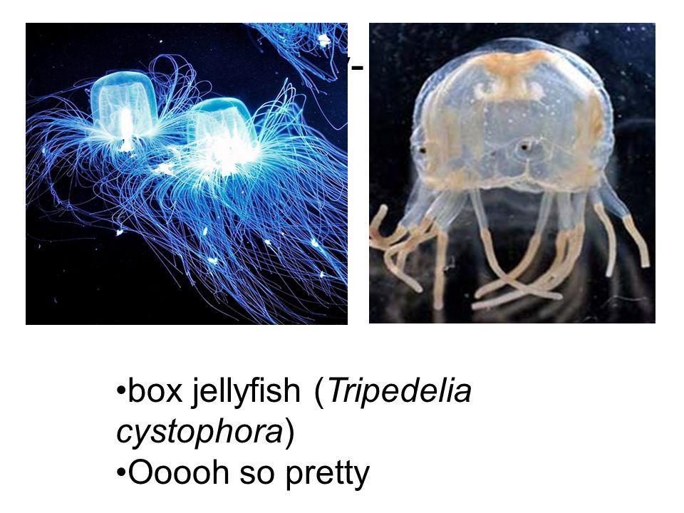 Anatomy- Name: box jellyfish (Tripedelia cystophora) Ooooh so pretty