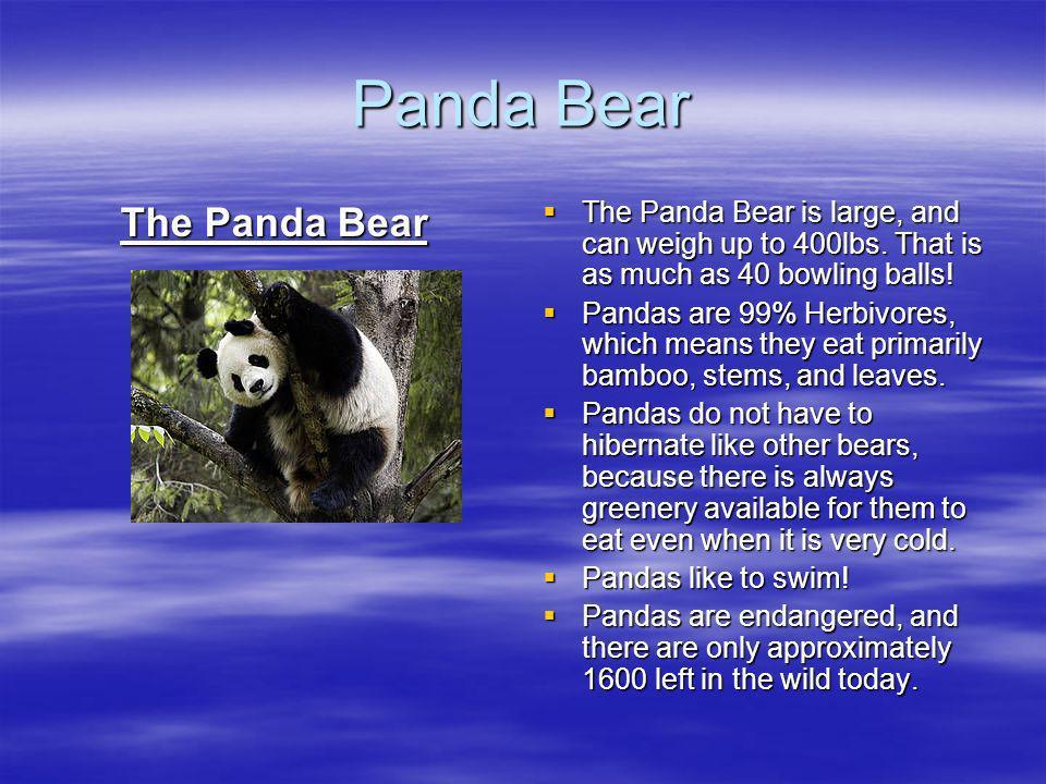Panda Bear The Panda Bear