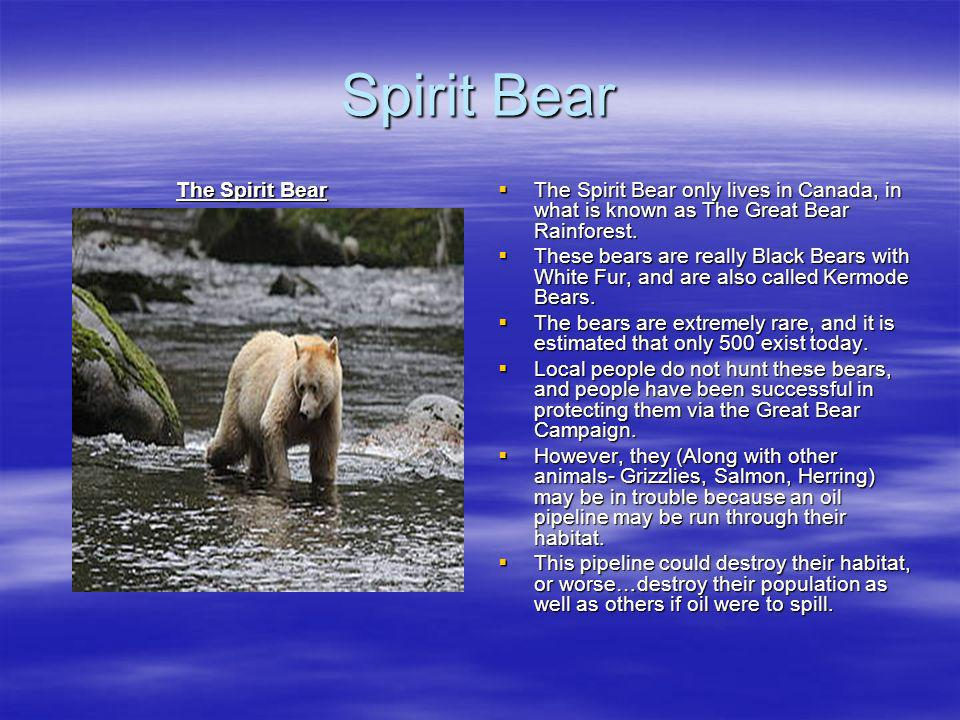 Spirit Bear The Spirit Bear
