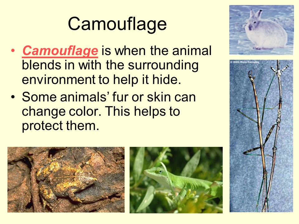 Camouflage Camouflage is when the animal blends in with the surrounding environment to help it hide.