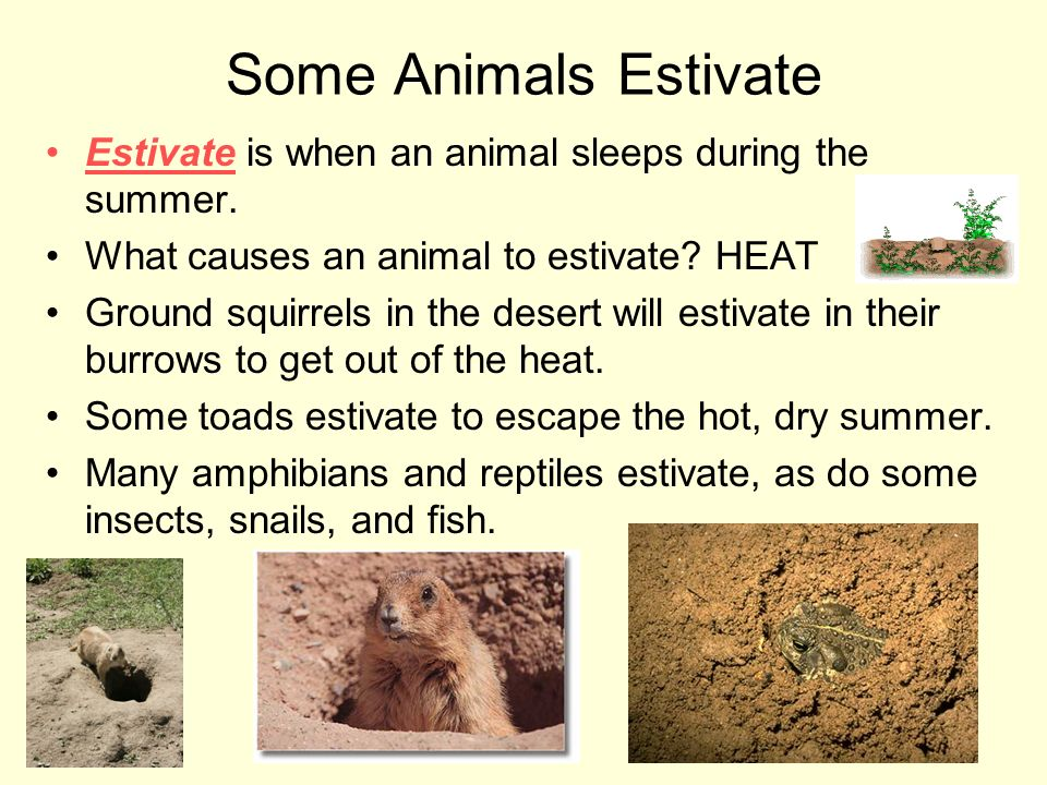 Some Animals Estivate Estivate is when an animal sleeps during the summer. What causes an animal to estivate HEAT.