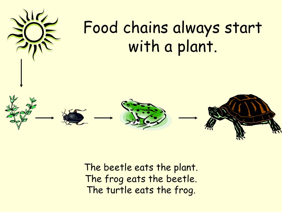 Food chains always start with a plant.