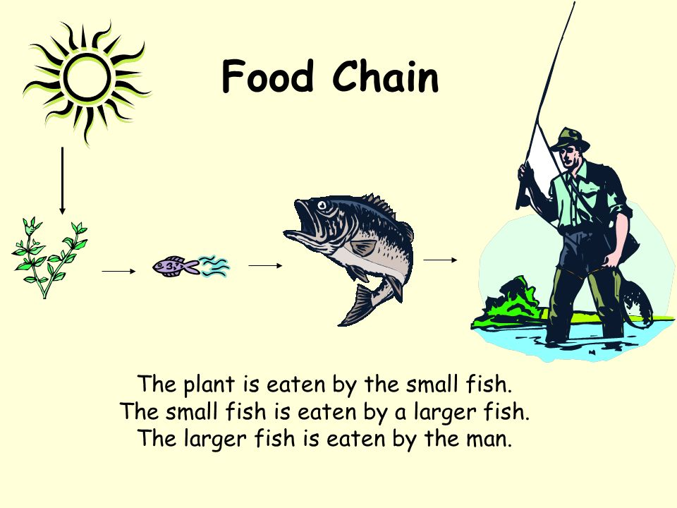 Food Chain The plant is eaten by the small fish. The small fish is eaten by a larger fish.