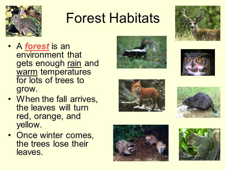 Forest Habitats A forest is an environment that gets enough rain and warm temperatures for lots of trees to grow.