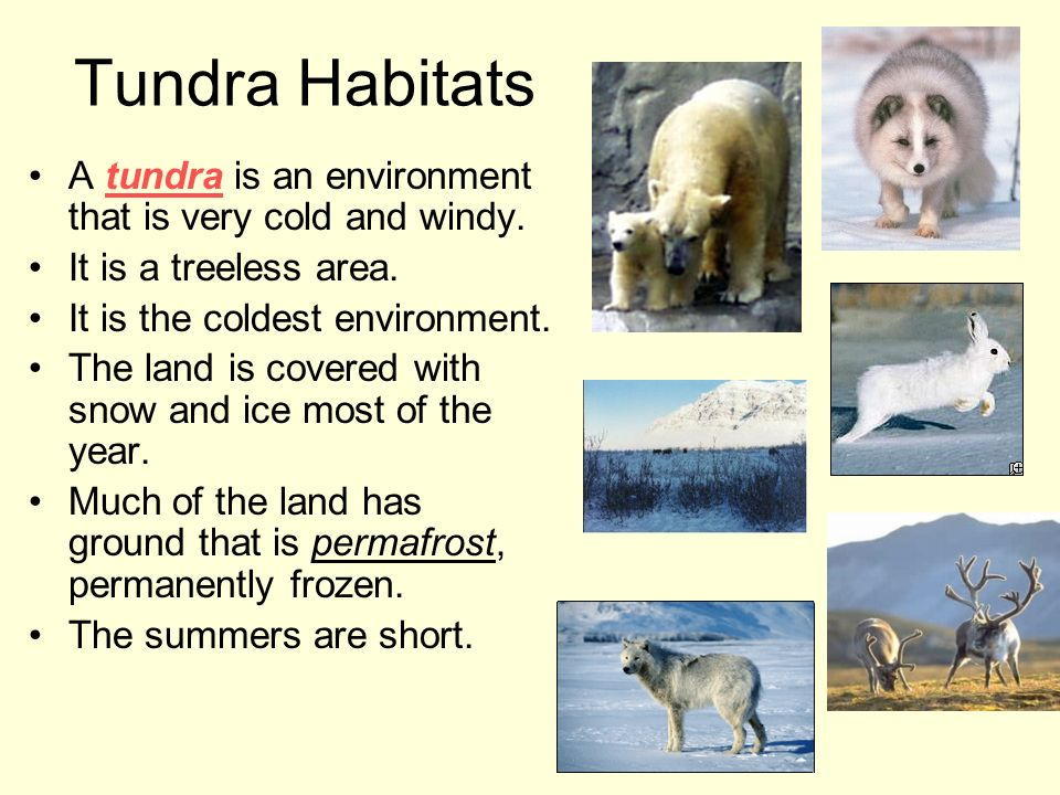 Tundra Habitats A tundra is an environment that is very cold and windy. It is a treeless area. It is the coldest environment.