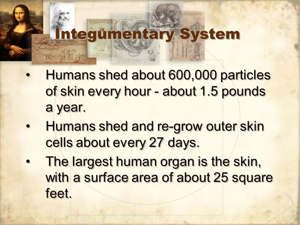 Integumentary System Humans shed about 600,000 particles of skin every hour - about 1.5 pounds a year.