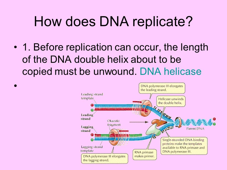 How does DNA replicate. 1.