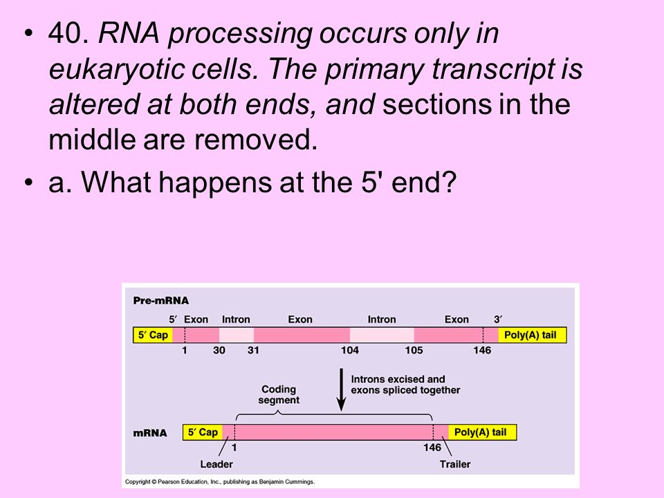 40. RNA processing occurs only in eukaryotic cells