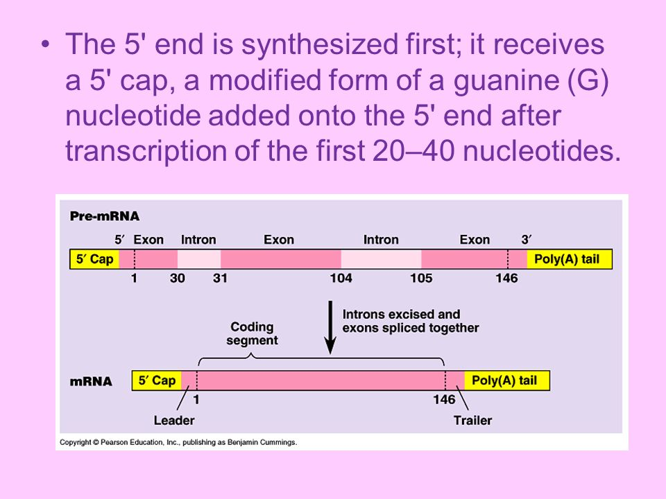 The 5 end is synthesized first; it receives a 5 cap, a modified form of a guanine (G) nucleotide added onto the 5 end after transcription of the first 20–40 nucleotides.