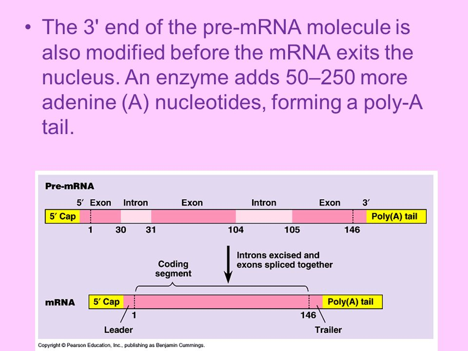 The 3 end of the pre-mRNA molecule is also modified before the mRNA exits the nucleus.