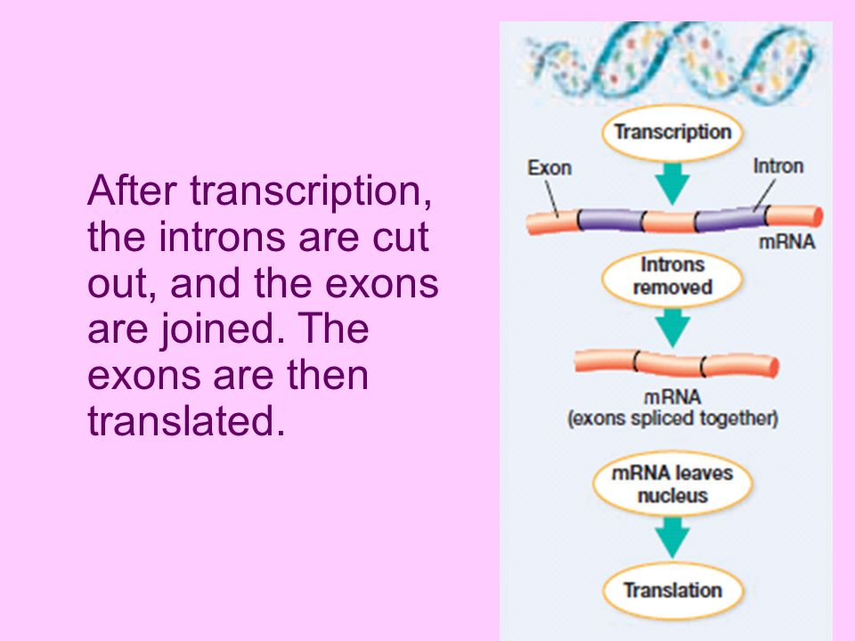 After transcription, the introns are cut out, and the exons are joined