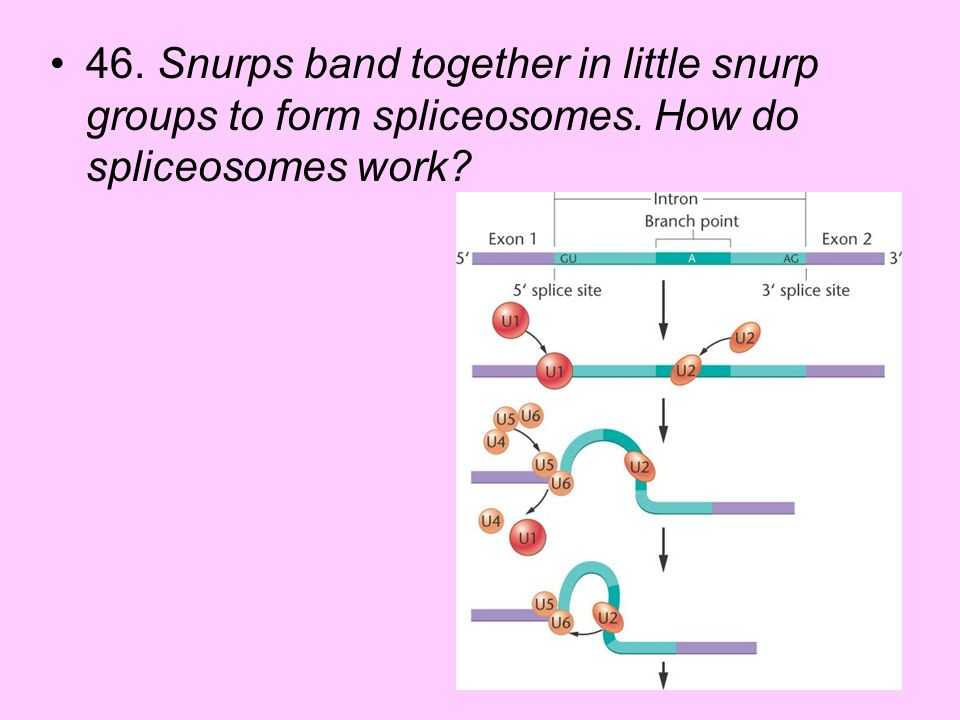 46. Snurps band together in little snurp groups to form spliceosomes