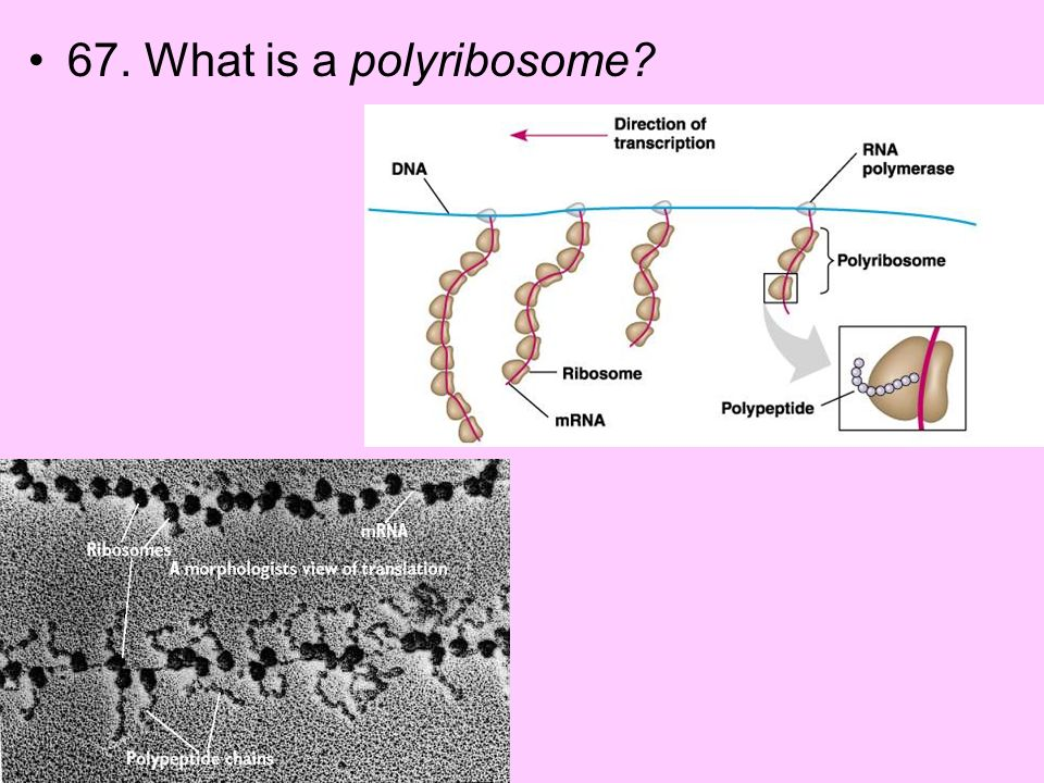 67. What is a polyribosome