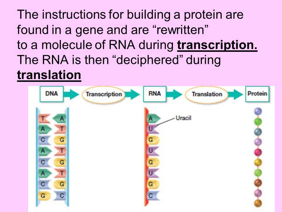 The instructions for building a protein are found in a gene and are rewritten to a molecule of RNA during transcription.