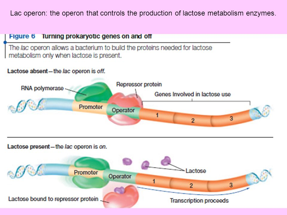 Lac operon: the operon that controls the production of lactose metabolism enzymes.