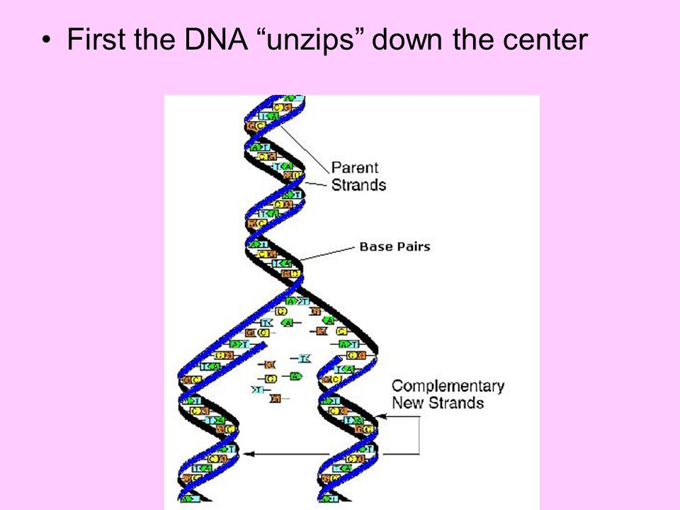 First the DNA unzips down the center