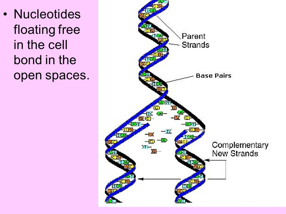 Nucleotides floating free in the cell bond in the open spaces.