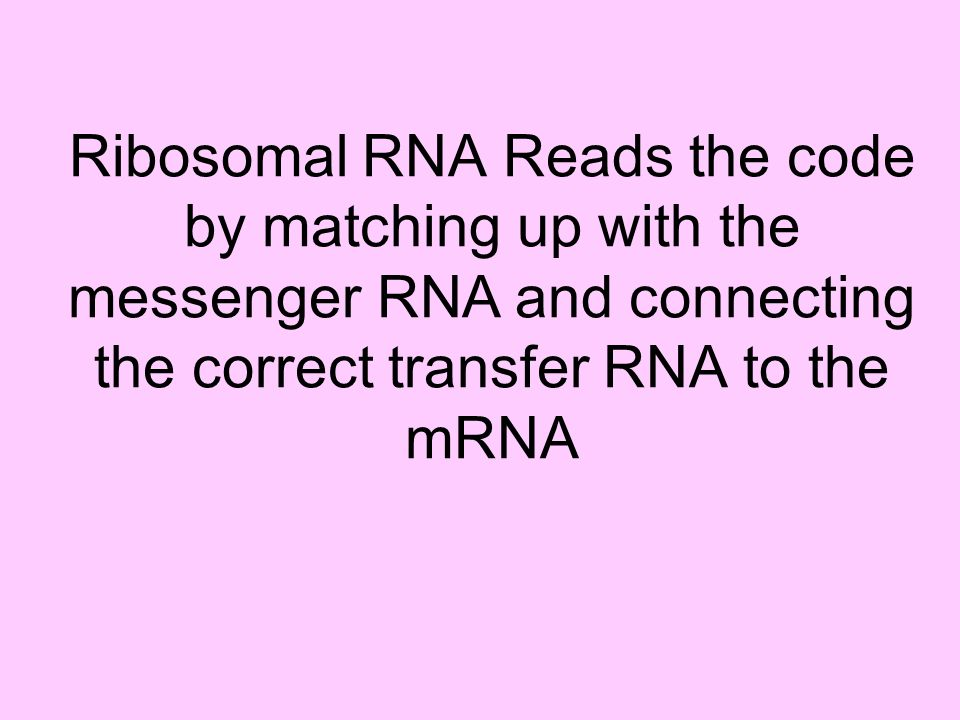 Ribosomal RNA Reads the code by matching up with the messenger RNA and connecting the correct transfer RNA to the mRNA
