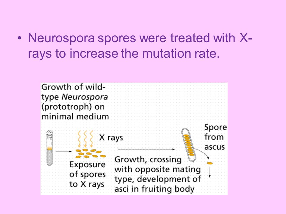 Neurospora spores were treated with X-rays to increase the mutation rate.