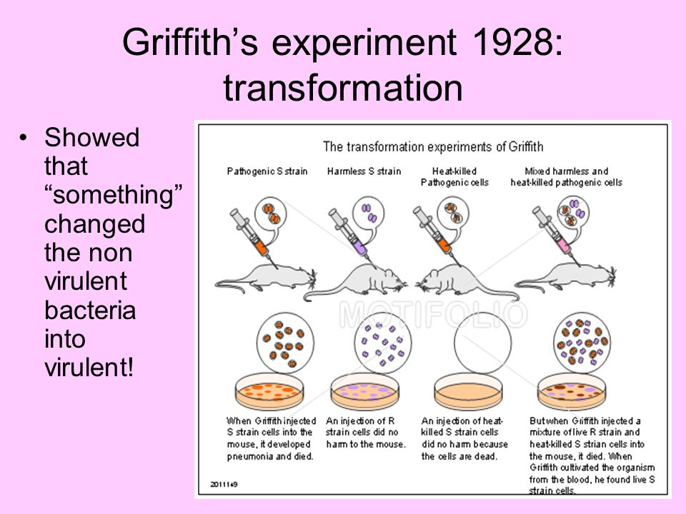 Griffith's experiment 1928: transformation