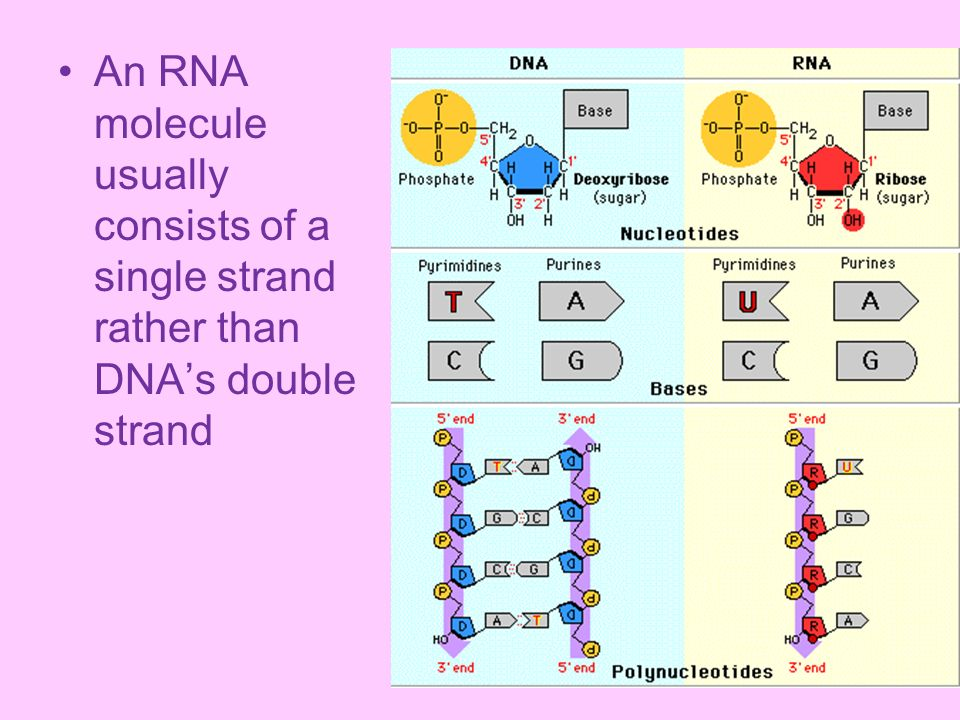 An RNA molecule usually consists of a single strand rather than DNA's double strand