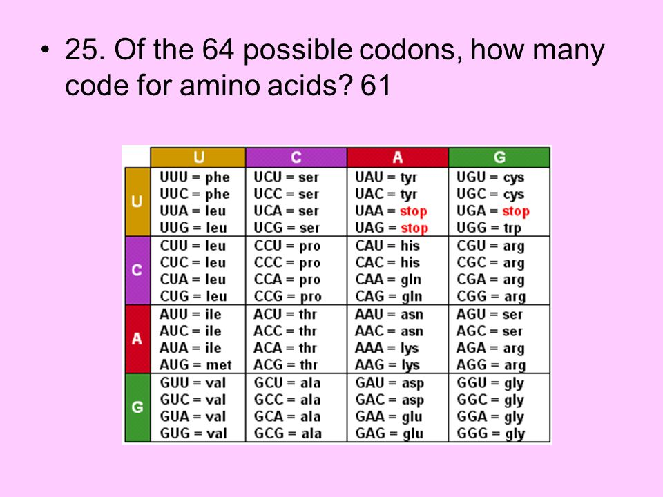 25. Of the 64 possible codons, how many code for amino acids 61