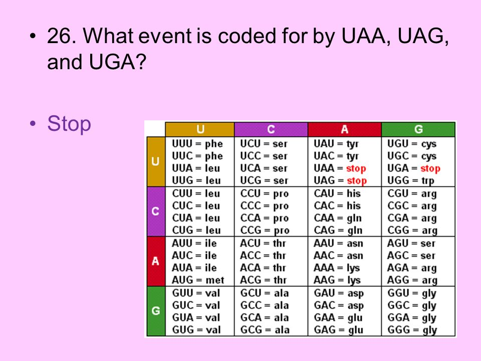 26. What event is coded for by UAA, UAG, and UGA
