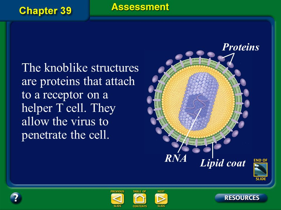 Proteins The knoblike structures are proteins that attach to a receptor on a helper T cell. They allow the virus to penetrate the cell.