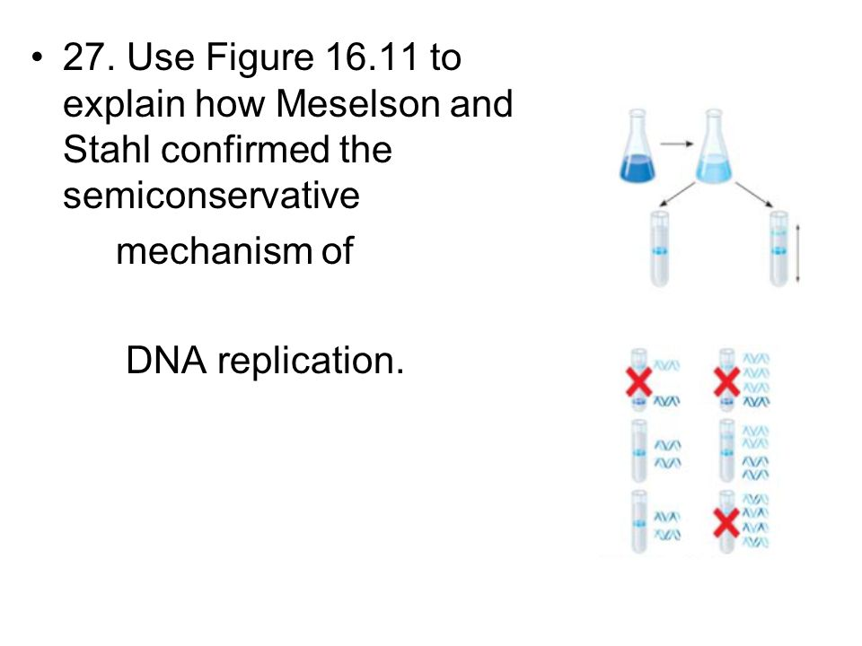 27. Use Figure 16.11 to explain how Meselson and Stahl confirmed the semiconservative