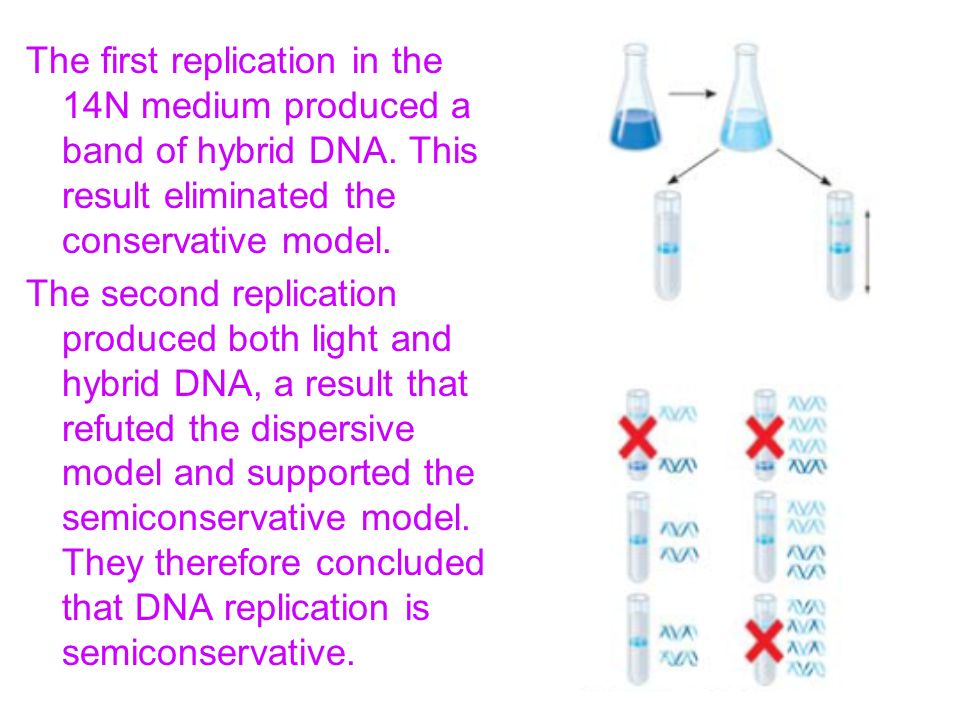 The first replication in the 14N medium produced a band of hybrid DNA