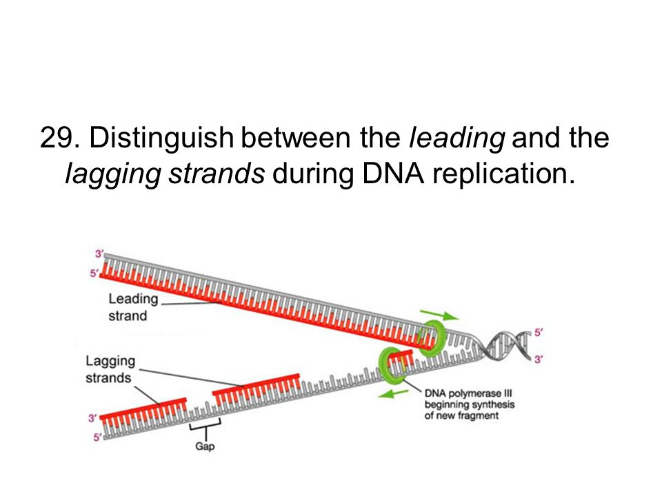 29. Distinguish between the leading and the lagging strands during DNA replication.