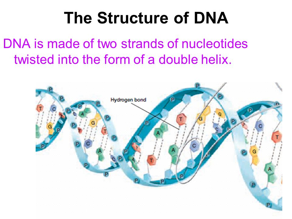 The Structure of DNA DNA is made of two strands of nucleotides twisted into the form of a double helix.