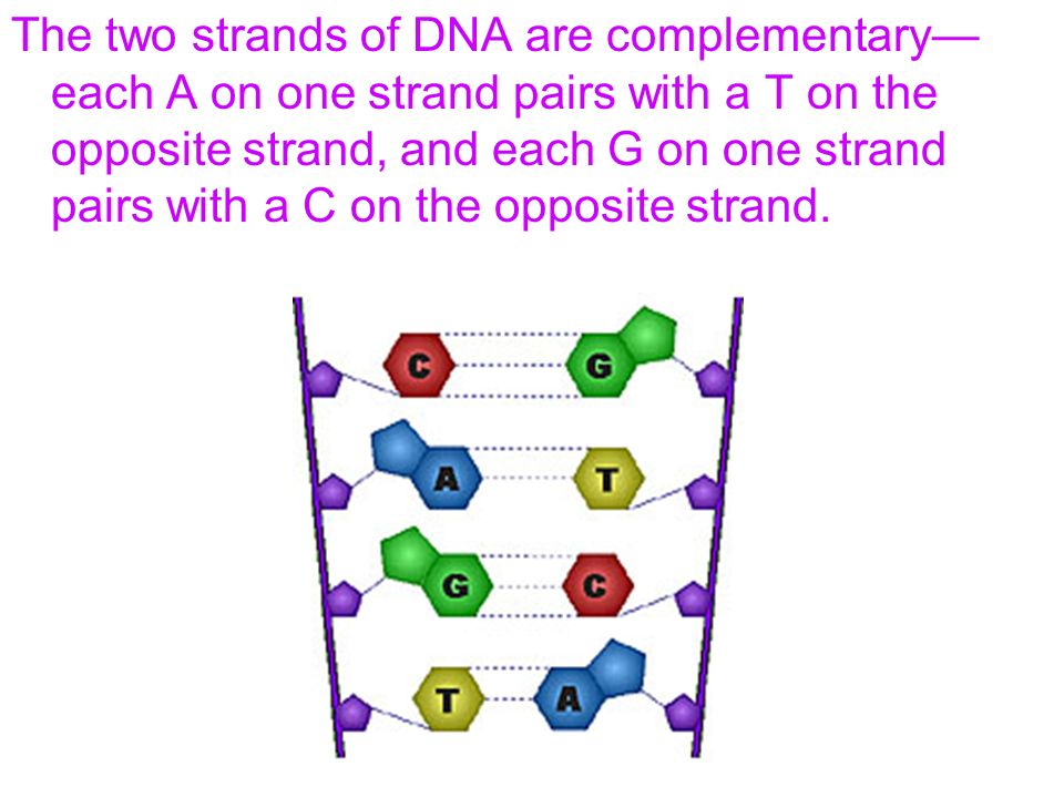 The two strands of DNA are complementary—each A on one strand pairs with a T on the opposite strand, and each G on one strand pairs with a C on the opposite strand.