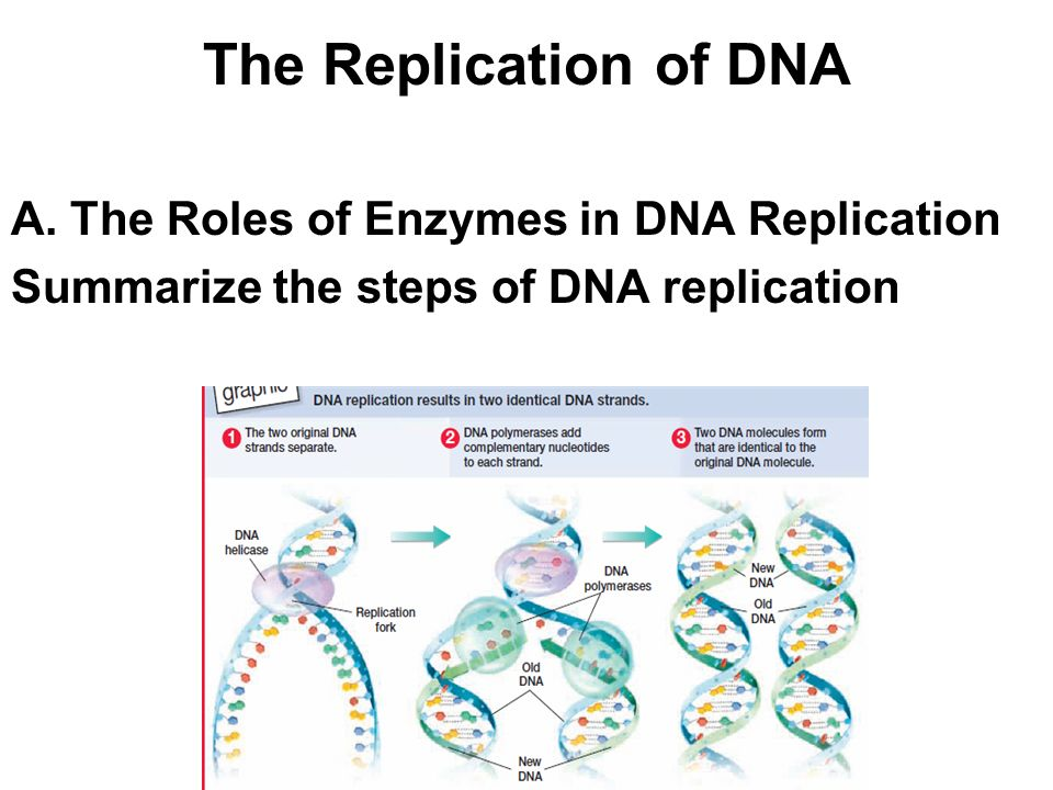 The Replication of DNA A. The Roles of Enzymes in DNA Replication
